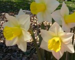 daffodil-jonquil-spring-yellow-white